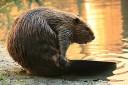 North America beaver
